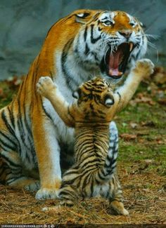 """tiger cub: """"Let's play mom!tiger mom: """"it's way past your nap time!"""" xD :D :p ; Animals And Pets, Baby Animals, Funny Animals, Cute Animals, Animals Images, Wild Animals, Beautiful Cats, Animals Beautiful, Beautiful Soul"""