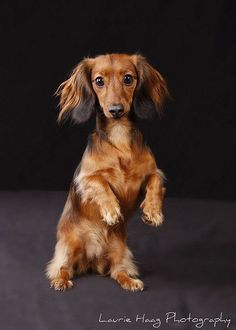 Penny, America's next top #dachshund takes to the runway