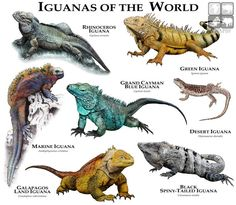 Iguanas Of The World Couch Throw Pillow by Wildlife Art By Roger Hall - Cover x with pillow insert - Indoor Pillow Reptiles Et Amphibiens, Cute Reptiles, Mammals, Endangered Reptiles, Animals Of The World, Animals And Pets, Cute Animals, Unique Animals, Green Iguana
