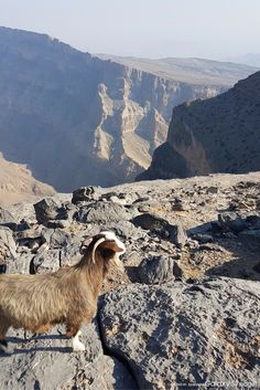 A goat looks out at the views from the Jebel Shams mountain range in Oman. © Daniel Clarke / Captured on Samsung Galaxy / edge. Galaxy S7, Samsung Galaxy, Mountain Range, S7 Edge, Middle East, Goat, Grand Canyon, Travel 2017, Around The Worlds