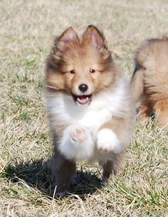 Shelties- I'm coming mom! BellaRose Shelties