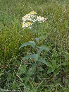 Flat-topped White Aster: flat cluster of ½ to ¾ inch flowers with 2 to 15 irregularly spaced white petals and a yellow to dull tan center disk. Up to 7 ft tall. Minnesota Wild, Growing Seeds, Growing Flowers, Aster, Native Plants, Lawn And Garden, Wildflowers, Flora, Ohio