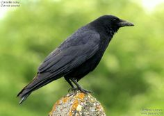 The Carrion Crow (Corvus corone) is a member of the passerine order of birds and the crow family which is native to western Europe and eastern Asia.