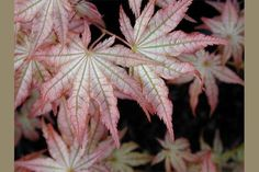 <a href=/products/show/236-ACER-palmatum-Peaches-and-Cream>ACER palmatum Peaches and Cream</a>