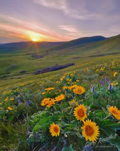 Easter Bouquet by Gary Randall. Lupins and balsamroot at the Dalles, Washington