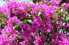 Bougainvillea (Bouganville, Bouganvillea o Buganville): Cura e Coltivazione Shrubs, The Cure, Flowers, Plants, Italy, Gardening, Colors, Mini, Chart