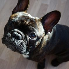 """""""But... but I sat and everything! I deserve a cookie"""", frustrated French Bulldog"""
