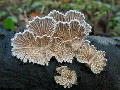 Schizophyllum commune Mushrooms More Pins Like This At FOSTERGINGER @ Pinterest