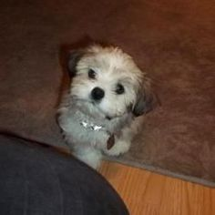 Quincy, Born Jan 6, 5.5 lbs is an adoptable Lhasa Apso Dog in Lucknow, ON. This little Babe came from a puppy mill where he was left to languishs after his siblings were sold to a broker for a pet sto...