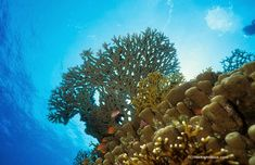 Red Sea hard corals by B. Sullivan This is one of my favorite reef photos. It was taken in the Red Sea at an area of Ras Mohamme. Hard Coral, Sea Anemone, Sea Photo, Underwater Photos, Red Sea, Stony, Corals, Scenery, Ocean