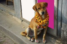 18 Outrageously Cute Photos Of Dogs Being Celebrated At Nepal's Wonderful Dog Festival