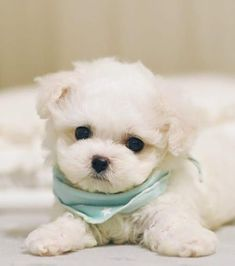 Maltese Puppies For Sale, Tiny Puppies, Cute Little Puppies, Maltese Dogs, Cute Dogs And Puppies, Baby Dogs, Teacup Maltese Puppies, Mini Maltese, Doggies