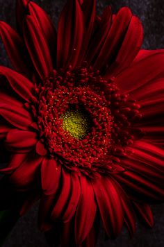 Red Gerbera - Red l Daisy Flowers Nature, Exotic Flowers, Amazing Flowers, Beautiful Roses, Pretty Flowers, Red Flowers, Flower Close Up, Gerber Daisies, Beautiful Flowers Wallpapers