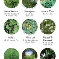 how to kill small blue weeds on lawn