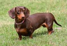 More dachshunds