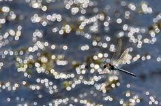 Nikon D750 + Tamron 160/600 mm f/5-6.3 - #guidofrilli - f/10 1/4000 sec. ISO 400 600 mm - 04/10/2015 13:28 - Sinis Desert Stagno di Mistras - Coppia di voltapietre (Arenaria interpres, Linnaeus 1758) è un uccello che fa parte della famiglia scolopacidae. Il nome deriva dalla sua capacità di voltare velocemente le pietre per mangiarne gli insetti che vi si annidano sotto.