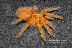 Tarantulas and others: Orange Baboon Tarantula