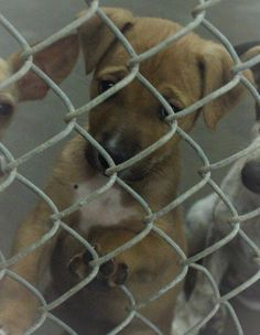 ~~DIES THURS., 07/31/14 7PM~ODESSA SUPER URGENT ~~ Shepherd female~ less than 4 months old ~ Kennel A22***$35 to adopt ~  Located at Odessa, Texas Animal Control. Must have a valid Drivers License and utility bill with matching address to adopt. They accept Credit Cards, cash or checks. We ARE NOT the pound. We are volunteers who network these animals to try and find them homes. Please send us a PM if we can answer any questions for you.