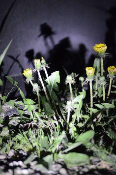 Schattenblume - Löwenzahn