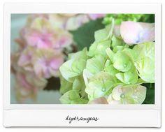 hydrangea...