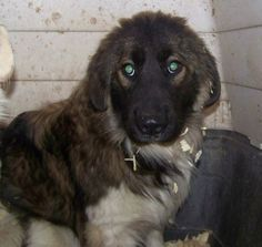 Athena and Sabrina are two 6 month old pyr mixes that were dumped at a very rural and high kill shelter. The puppies are nervous but very sweet and like people and other animals. A quieter family with time to socialize or a family with another..