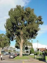 Image result for eucalyptus
