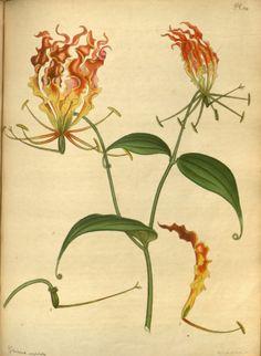 Glory Lily - Gloriosa superba - circa  1799 -1801