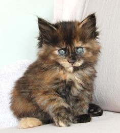 Five Poly Maine Coons: Jasmine kitten