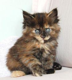 Five Poly Maine Coons: Jasmine kitten