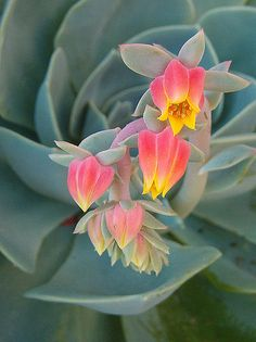 Blooming Succulents, Cacti And Succulents, Planting Succulents, Planting Flowers, Unusual Flowers, Amazing Flowers, Beautiful Flowers, Tropical Garden, Tropical Plants