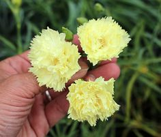 Dianthus caryophyllus 'Grenadin Yellow'. Boasting a delightfully spicy clove scent, an abundance of flowers appear late Spring thru Fall above attractive blue-green foliage. Growing up to 2' high & 1' wide, it's lovely edging a bed or planted in a container (5+ gal). A true cottage garden classic & a must-have plant for the cuttings garden - providing endless long-stemmed blooms for fragrant flower arrangements. Attracts butterflies!Provide good drainage for a healthy plant & cut back in…