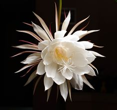 Night Blooming Cereus: From the homeliest of plants comes the 'Princess of the Night', heavily perfumed and lasting but a few brief hours. This one came from a cutting from Dad's mother plant. #Flower #Night_Blooming_Cereus
