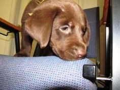 Fudge: Chocolate Labrador Retriever, Dog; St. Clair, MI