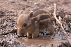 Tiny warthog cooling off in a tiny mud puddle - more at megacutie.co.uk