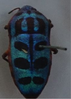 Photo from my trip to Oxford University Natural History Museum- couldn't find the name of this beetle but the pattern on the body looks tribal in style.