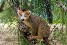 Cute lemur by Pierre-Yves Babelon - Photo 81163339 / 500px