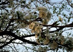 Flores de Jardin: Ciruelo - Prunus doméstica