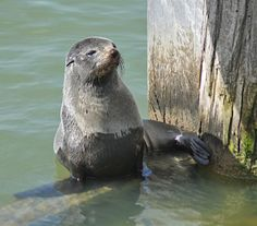 45 minutes from Fox Creek, New Zealand Fur Seal at Goolwa Barrage, South Australia | www.foxcreekwines.com