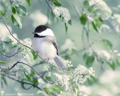 Chickadee in Spring by Rocky Top Studio.  My favorite bird! (well one of them)