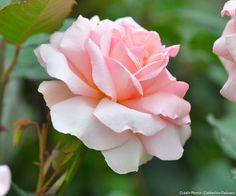 Rose #rosier #rose