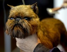 2015 Westminster Dog Show--This Brussels Griffon looks kind of like a cross between a dog and a cat!