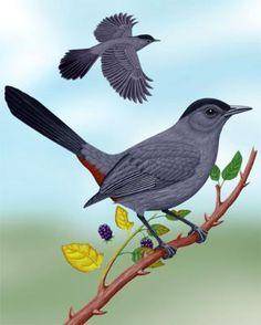 Gray Catbird - Whatbird.com