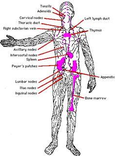 lymph node diagram | ... Afferent lymphatic vessels (arrive) bring ...