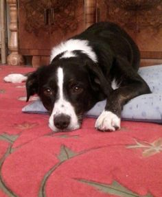 Border-Labrador-mix Jessy 3 Jahre alt