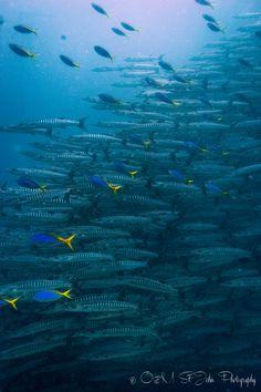 School of Barracuda. Diving in Sipadan Island, Sabah. Malaysia. Borneo.