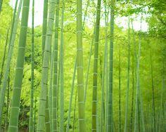 Bamboo -  Jyojyakko-ji Temple #japan #kyoto
