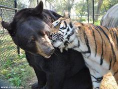 Foto tierna oso y tigre  [13-1-16]