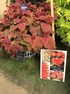 Coleus UNDER THE SEA King Crab the biggest sea creature in the series- great eye catcher! New for 2013