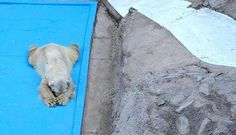 World's Saddest Polar Bear Dies After 22 Years In Concrete Pit