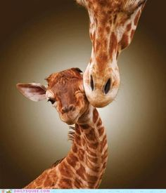 Mommy's Here ♥ Giraffe and her Baby